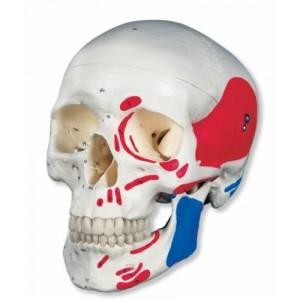 3B Scientific A23 - Modelo anatómico de cráneo (3 piezas, pintado)