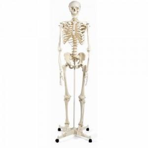 Esqueleto Stan Sobre pie metálico con 5 ruedas