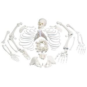 Esqueleto Completo, desarticulado, con cráneo de 3 piezas