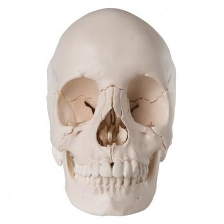 Cráneo desmontable - versión anatómica, en 22 partes
